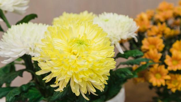 il significato dei crisantemi