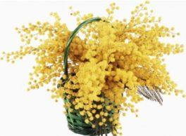 cesto mimosa ben confezionato, consegna a domicilio