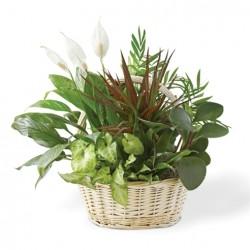 Cesto di piante verdi miste composizione