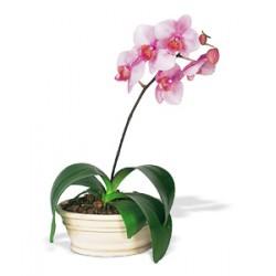pianta phalenopsis rosa