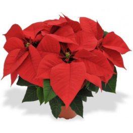 Pianta Stella di Natale Rossa - Poinsettia