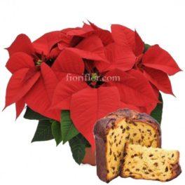 Buon Natale! Pianta Poinsettia Rossa e Panettone