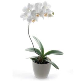 bellissima pianta di orchidea bianca Phalenopsis ben confezionata