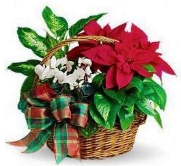 Cesto Natale con Stella di Natale rossa ciclamino e piantina verde