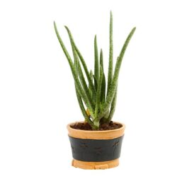 pianta grassa aloe vera